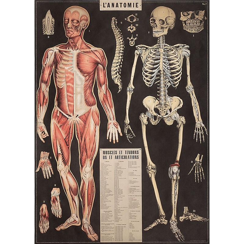Poster Anatomy Cavallini & Co