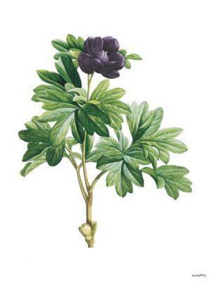 Vanilla Fly Poster blomma purple
