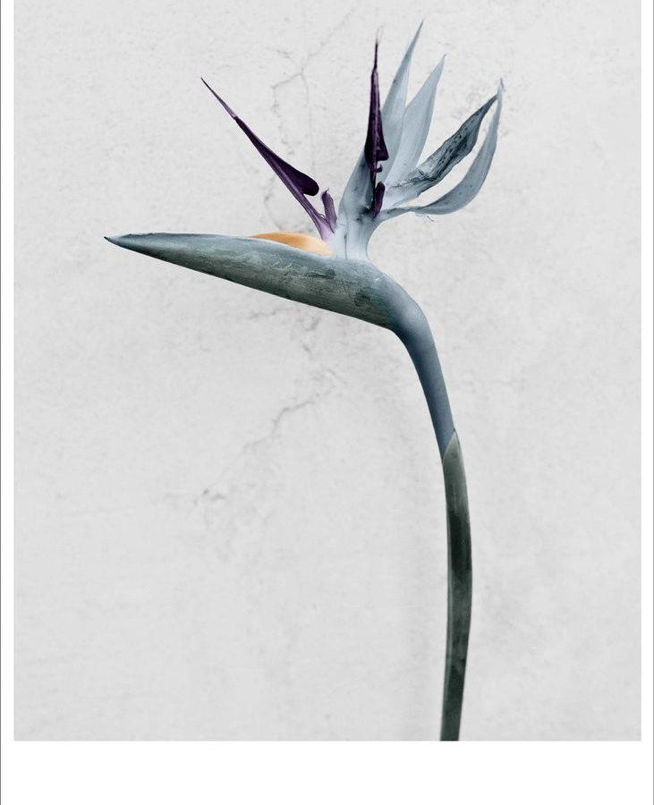 Vee Speers fotokonst Poster Botanica Strelitzia Reginae